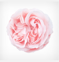 pastel rose vector image