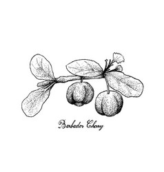 Hand drawn of barbados cherries on white backgroun vector