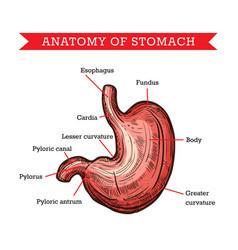 Human stomach anatomy sketch medicine aid vector