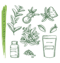 sketch stevia plant and pills scoop and pack vector image