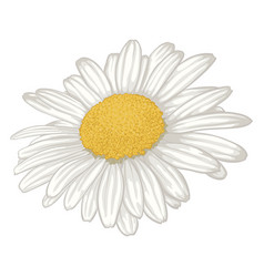 Beautiful white daisy flower isolated vector