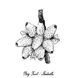 Hand drawn of medinilla fruits on white background vector
