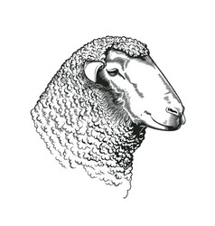 Head of ram of dohne merino breed drawn in vintage vector