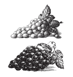 grape logo design template grapevine or vector image