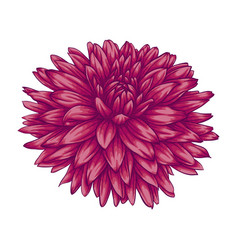 Beautiful pink dahlia isolated on white background vector