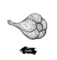 garlic drawing isolated on white background vector image vector image