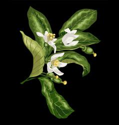 Citrus flower branch of orange lemon lime fruit vector