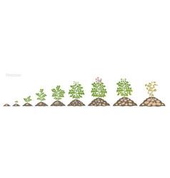 Crop stages potatoes plant growing spud plants vector