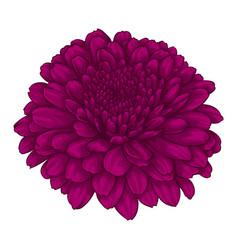 beautiful pink chrysanthemum flower effect vector image