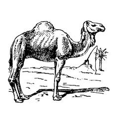Vintage engraving a camel vector