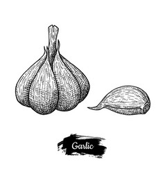garlic drawing isolated on white background vector image