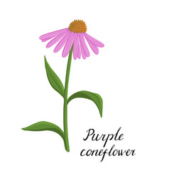 drawing flower echinacea vector image