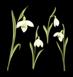 spring set snowdrop flowers on a black vector image