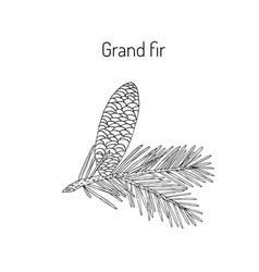 Great silver fir vector