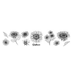 sunflower hand drawn ink pen set vector image