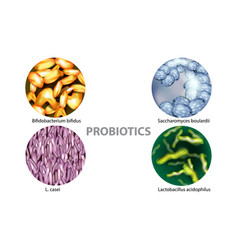 four popular types of bacteria probiotics vector image