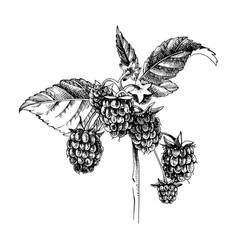 Hand drawn raspberry branch vector
