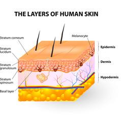 Melanocyte and melanin vector image
