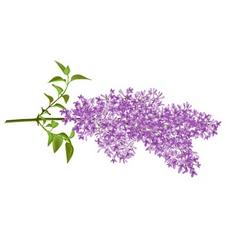 Lilac vector