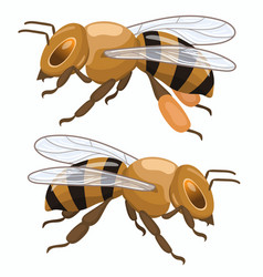 two honey bees isolated on white background vector image
