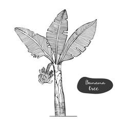 banana tree sketch detailed botanical vector image