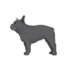 Gray boston terrier in pose dog with wrinkled vector