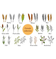 Hand drawn set of culinary agricultural cereals vector