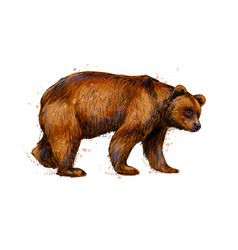 portrait of a brown bear from a splash of vector image