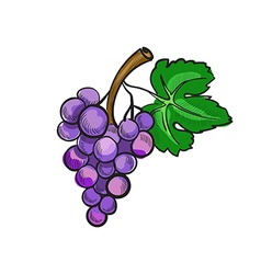 hand drawn doodle grapes vector image