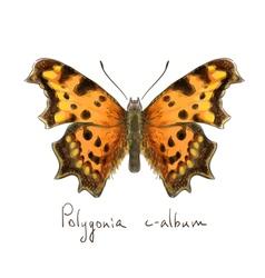 Butterfly Polygonia c-album Watercolor imitation vector image