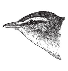 red eyed vireo vintage vector image vector image