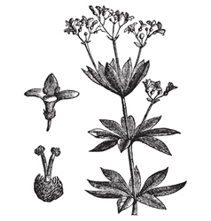 Sweet woodruff vintage engraving vector image