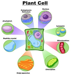 Diagram showing plant cell vector image