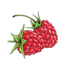 hand drawn sketch raspberry in color isolated vector image