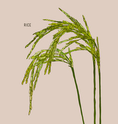 green rice vector image