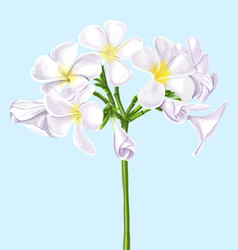 Watercolor Painting of Plumeria vector image vector image