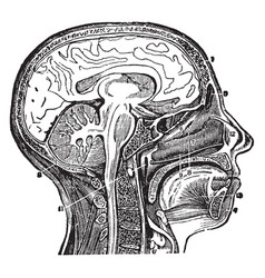 Head and neck section of vintage vector