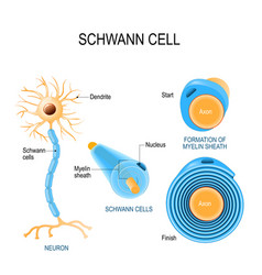 schwann cells structure of neurolemmocytes vector image