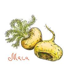 lepidium meyenii maca maca-maca maino ayak vector image