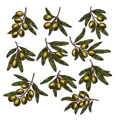 green olive fruit branch sketch for food design vector image