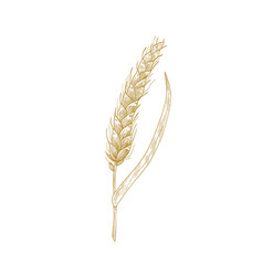 Wheat ear or spikelet isolated on white background vector