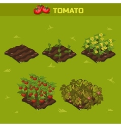SET 1 Isometric Stage of growth Tomato vector