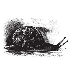 Edible snail vintage vector