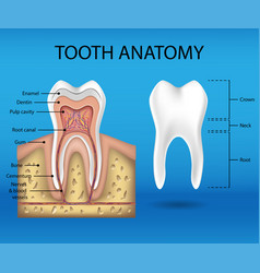 tooth anatomy infographics realistic white tooth vector image