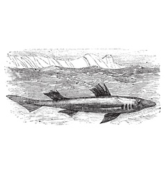 Spiny dogfish engraving vector image vector image
