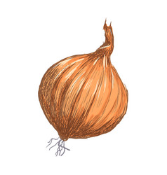 hand drawn onion over white background vector image
