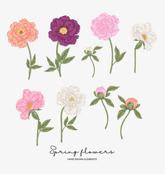 hand drawn peonies spring flowers set garden vector image