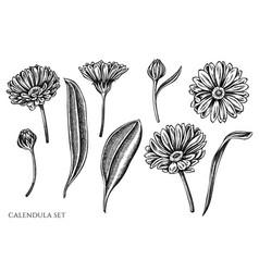 Set hand drawn black and white calendula vector