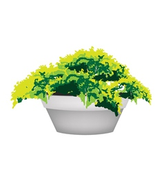 Evergreen Plant in Flower Pot vector image vector image