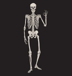 human skeleton posing isolated over black vector image